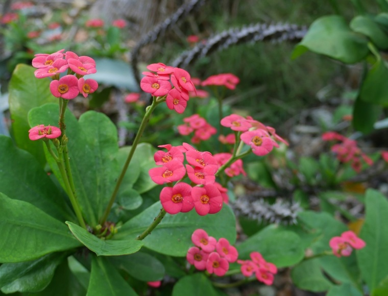 Crown of Thorns Flowers - Green Turtle Cay