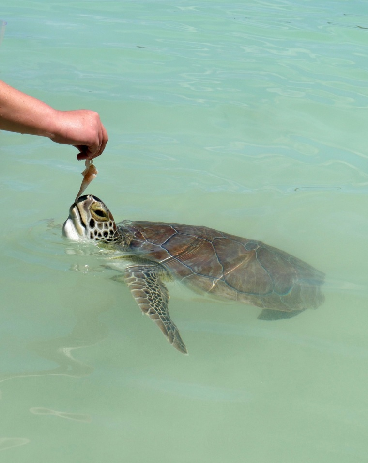 Green Turtle at Coco Bay- Abaco, Bahamas
