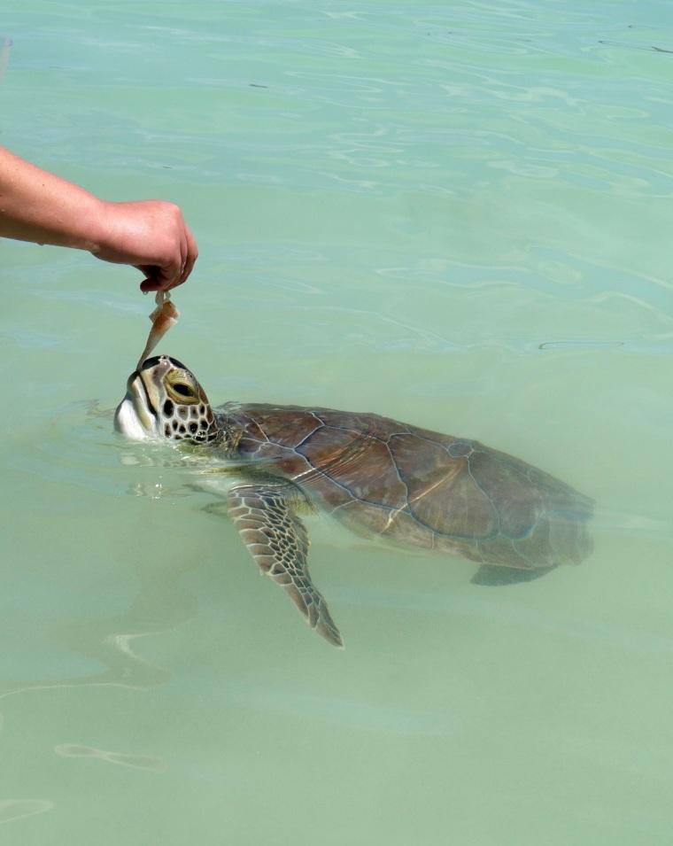 Green Turtle at Coco Bay- Abaco, Bahamas